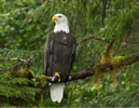 Bald Eagle in the Great Bear Rainforest