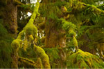 Moss platforms in the Great Bear Rainforest