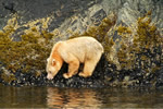 Spirit Bear eating mussels 1/2 mile from oil super tanker route