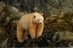 Female Spirit bear seen on cover of National Geographic