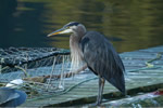 Great Blue Heron on dock in Klemtu