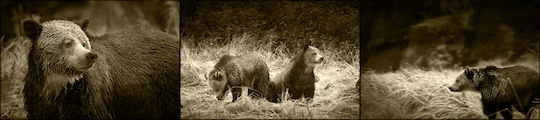 Stop Bear Trophy Hunting
